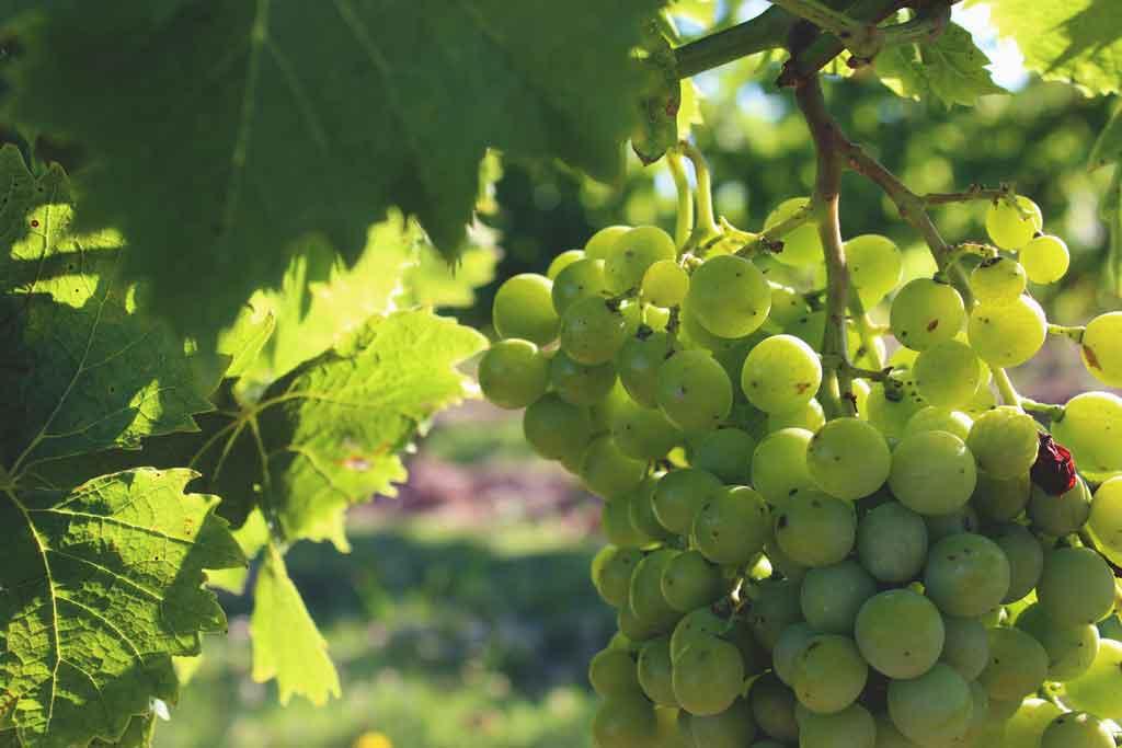 Uruguai: vinícolas