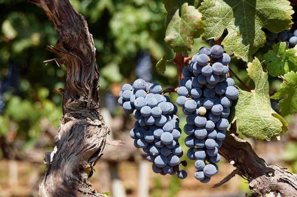 Cassis França vinicolas