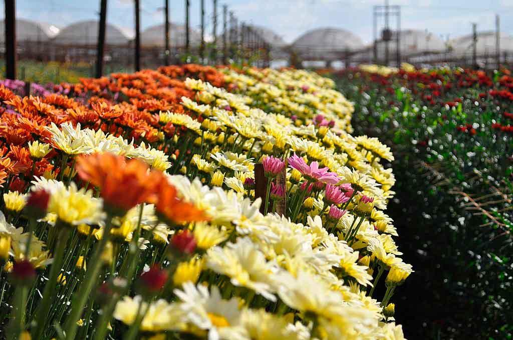O que fazer em Holambra campos de flores